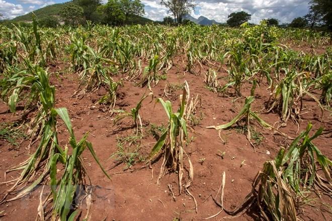 Một cánh đồng ngô khô hạn ở Blantyre, Malawi. (Nguồn: AFP/TTXVN)