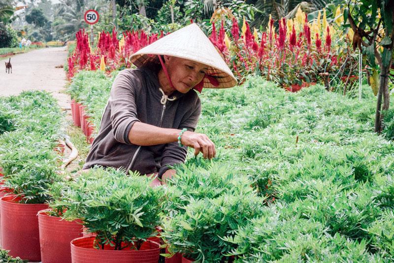 Nông dân Chợ Lách sản xuất cây giống, hoa kiểng góp phần phát triển kinh tế vườn. Ảnh: Quốc Thi