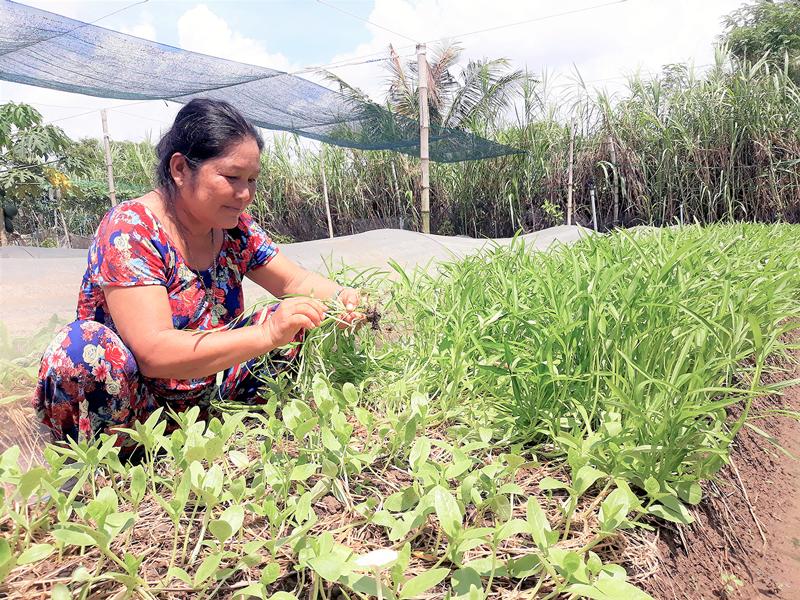 Bà Huỳnh Thị Nhịn thu hoạch rau muống sạch.