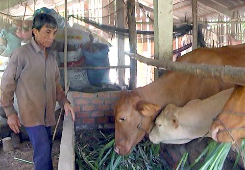 Anh Nguyễn Văn Sung chăm sóc đàn bò. Ảnh: Huỳnh Lâm
