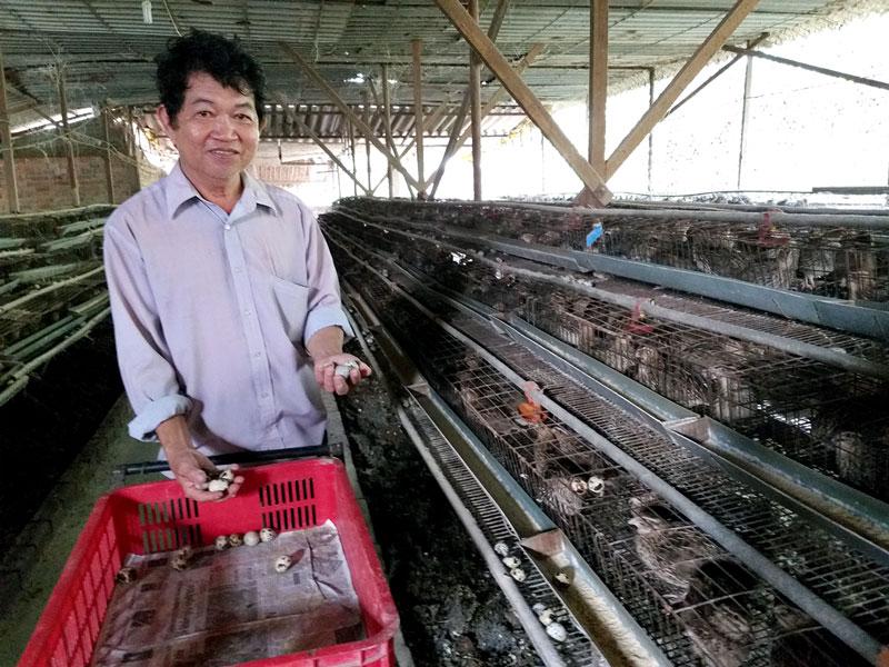 Ông Nguyễn Hoài Vũ thu hoạch trứng cút.