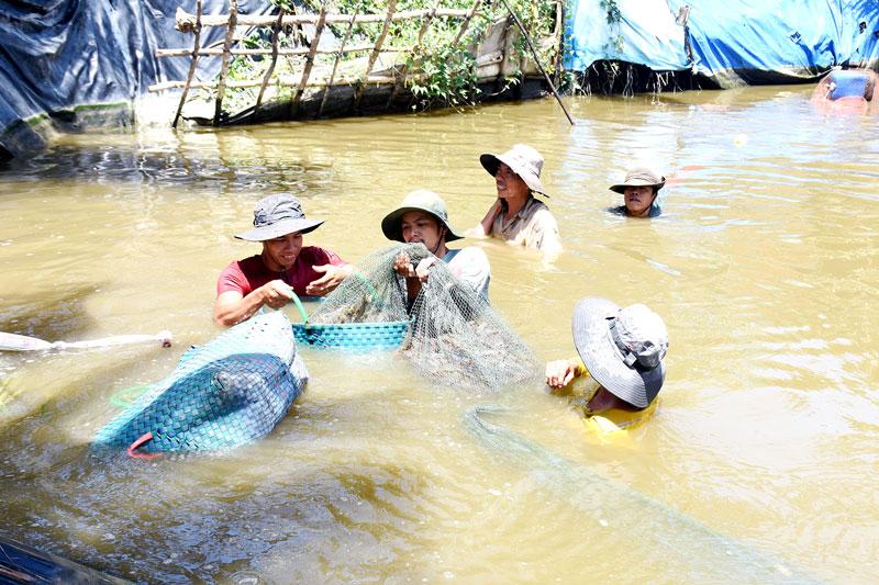 Tôm thẻ chân trắng - một trong các sản phẩm chủ lực của tỉnh đang phát triển mạnh tại các huyện biển.