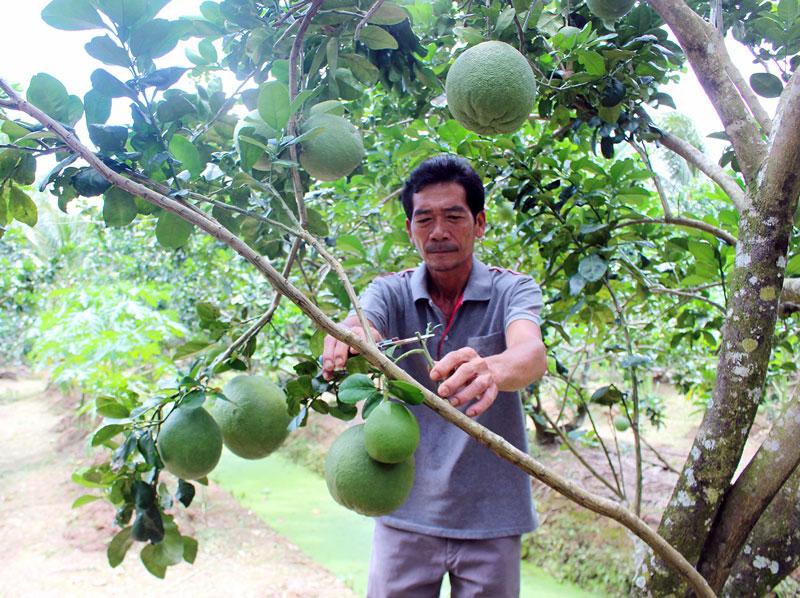 Cựu binh, thương binh Huỳnh Văn Thiện chăm sóc bưởi da xanh.
