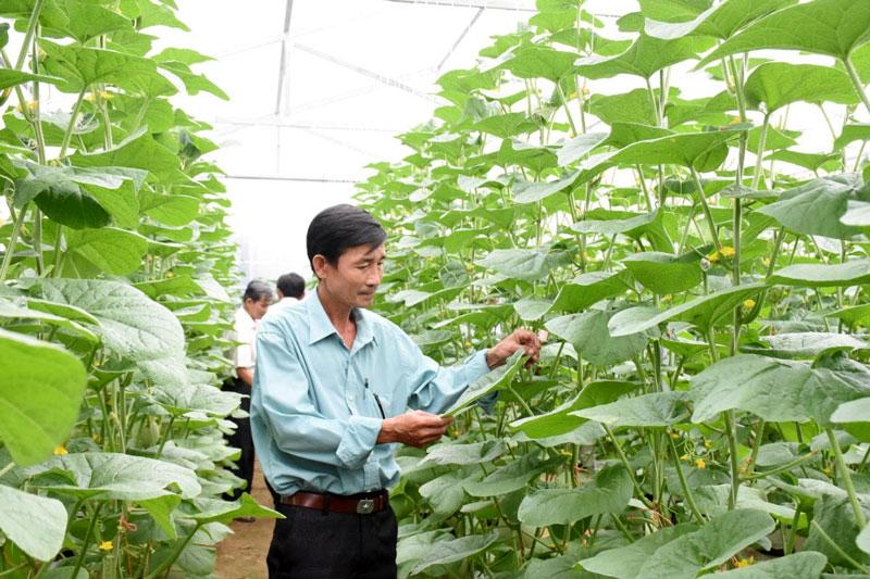 Nông dân đầu tư sản xuất dưa lưới theo hướng công nghệ cao.