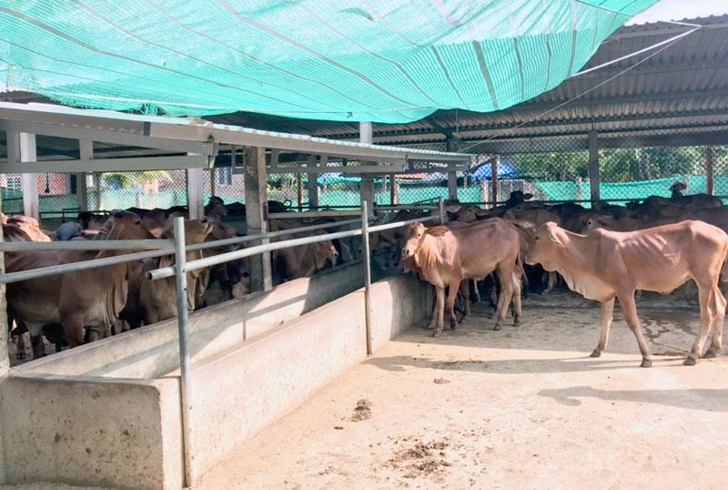 Mô hình nuôi bò vỗ béo giúp nhiều nông dân thoát nghèo và làm giàu.