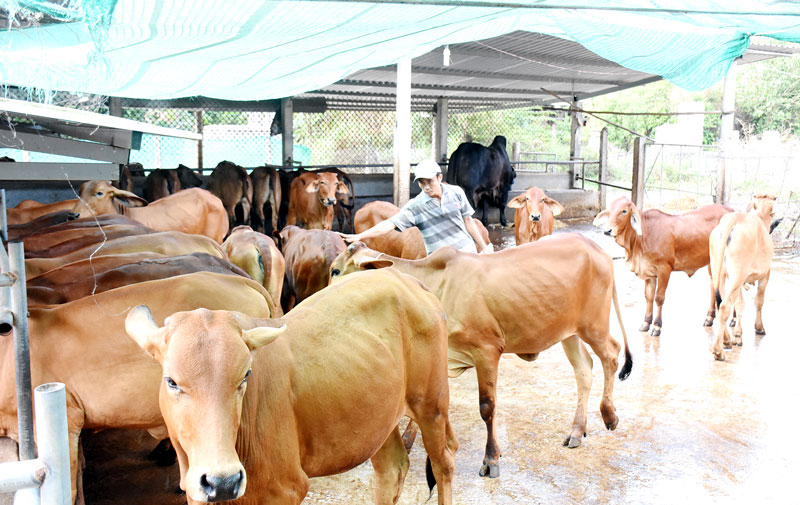 Đàn bò tại HTX nông nghiệp Mỹ Chánh. Ảnh: Phan Hân
