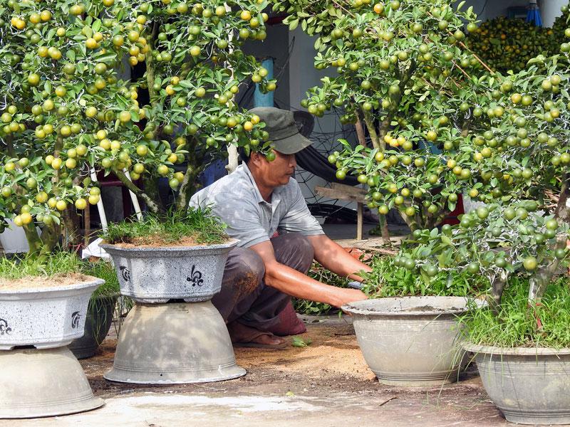 Chăm sóc hoa kiểng chuẩn bị bán dịp Tết. Ảnh: T. Đồng