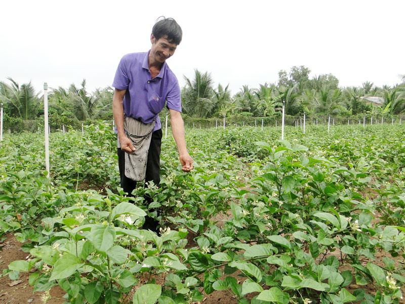 Mô hình chuyển đổi từ trồng lúa sang trồng hoa lài tại xã Vang Quới Đông.