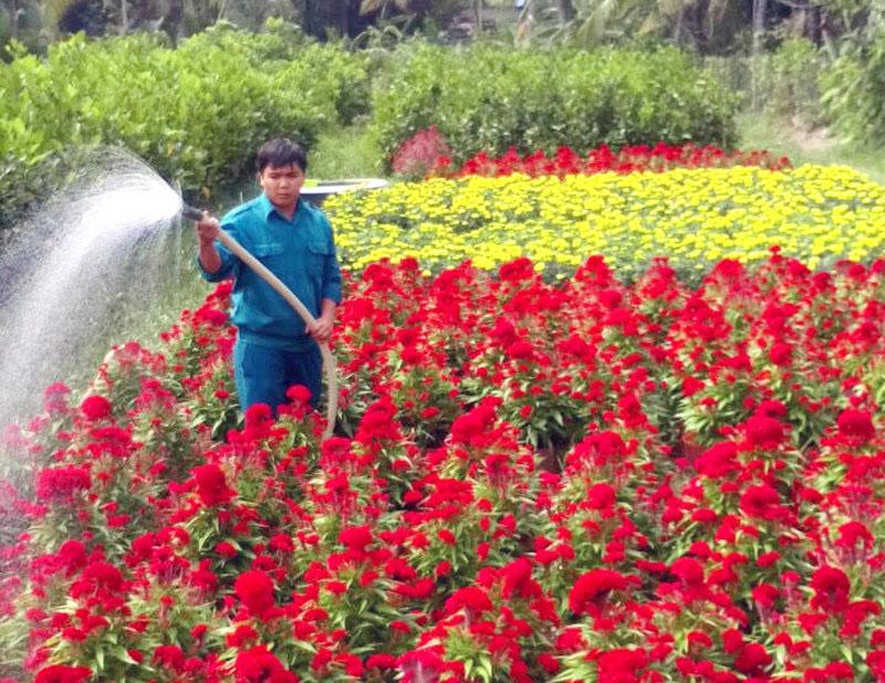 Anh Nguyễn Thanh Huyền trồng và chăm sóc vườn hoa cung ứng thị trường Tết.