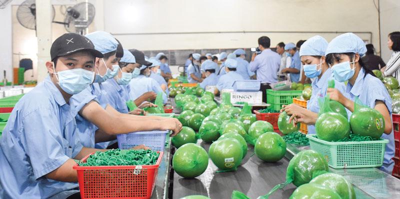 Dây chuyền đóng gói bảo quản bưởi da xanh tại Công ty TNHH MTV sản xuất nông sản Hương Miền Tây. Ảnh: C. Trúc