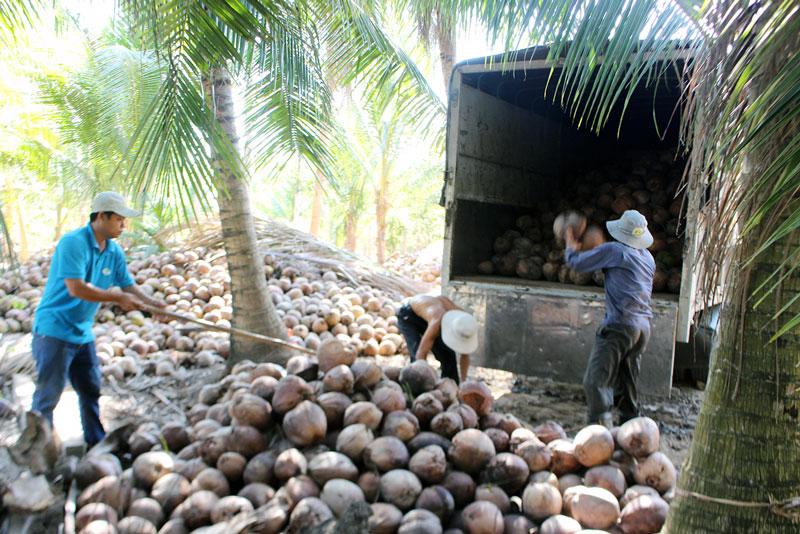 Vận chuyển dừa trái khô bán cho khách hàng tại HTX Nông nghiệp Vang Quới Đông.
