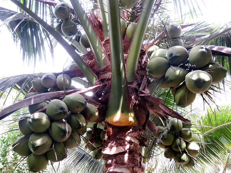 Cây dừa dứa lai cho trái to, mẫu mã đẹp.