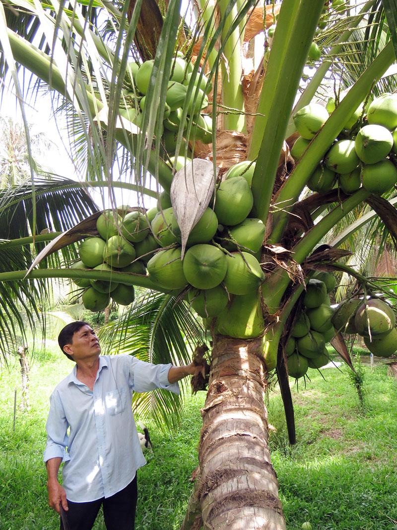 Hai Bửu chăm sóc dừa dứa lai.