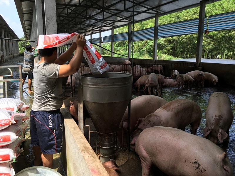Giữ vệ sinh chuồng trại và cho ăn thức ăn đạt tiêu chuẩn là những biện pháp hữu hiệu phòng, chống dịch tả lợn châu Phi. Ảnh: Đỗ Khải