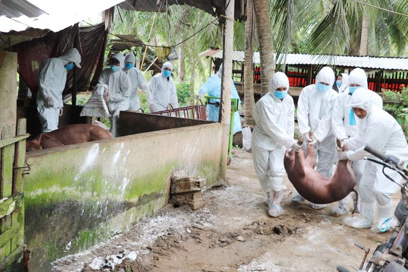 Ngành chức năng tiêu hủy đàn heo nhiễm dịch tả heo châu Phi tại xã Thạnh Phú Đông.
