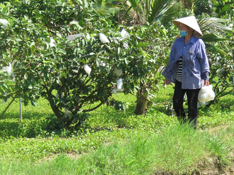 Cô Liên chăm sóc cây ổi và rau má trồng xen cây dừa.