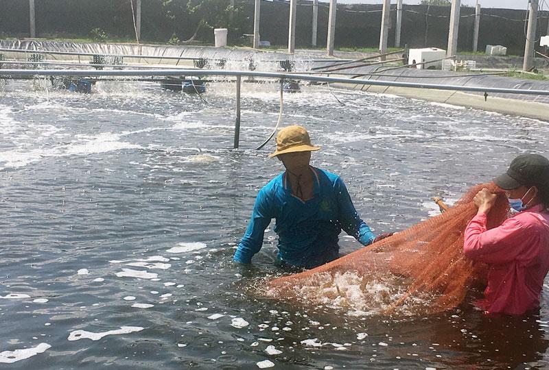 Thu hoạch tôm biển ở Thạnh Phú. Ảnh: H. Trung