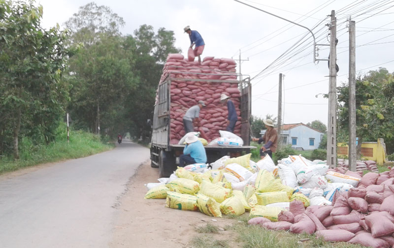 Bốc vác phân bò lên xe tải ở xã Tân Xuân
