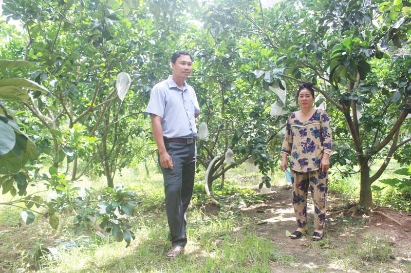Vườn bưởi da xanh hơn 3 năm tuổi đang cho trái của chị Nguyễn Thị Miếm.
