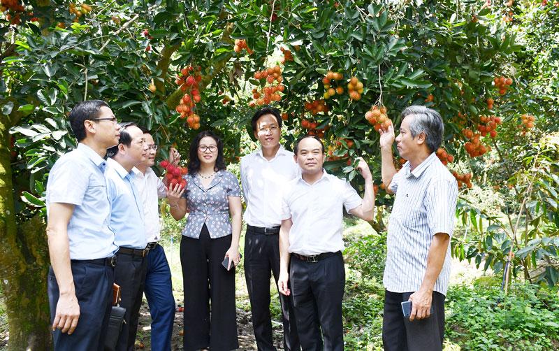 Đoàn công tác tham quan mô hình trồng chôm chôm ở Sơn Định (Chợ Lách). Ảnh: H.Hiệp
