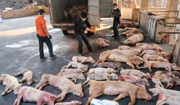 Trung Quốc thông báo trường hợp nhiễm bệnh tả lợn châu Phi đầu tiên hồi tháng 8-2018. (Ảnh: Vietnamnet)
