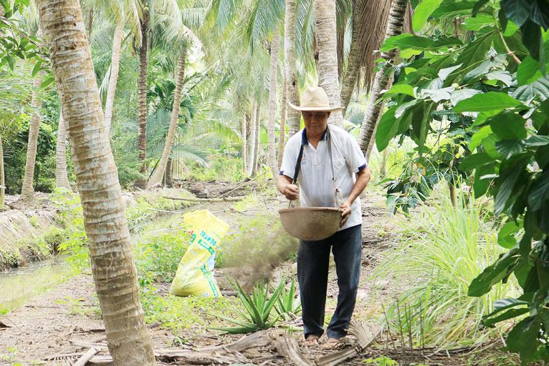 Người dân xã Hưng Lễ (Giồng Trôm) chăm sóc vườn dừa hữu cơ. Ảnh: Tiến Vũ