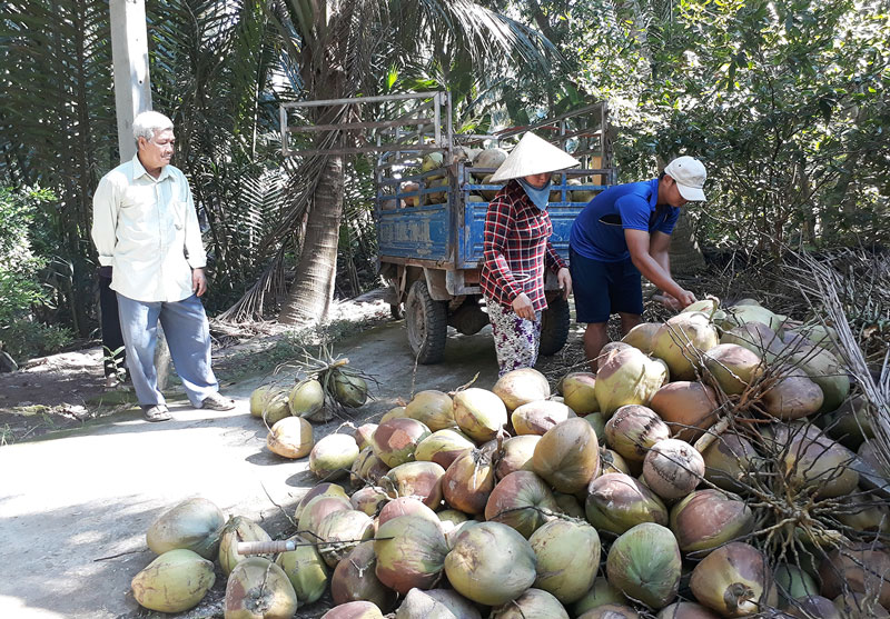Sản phẩm của mô hình sản xuất dừa hữu cơ. Ảnh: Kim Phụng