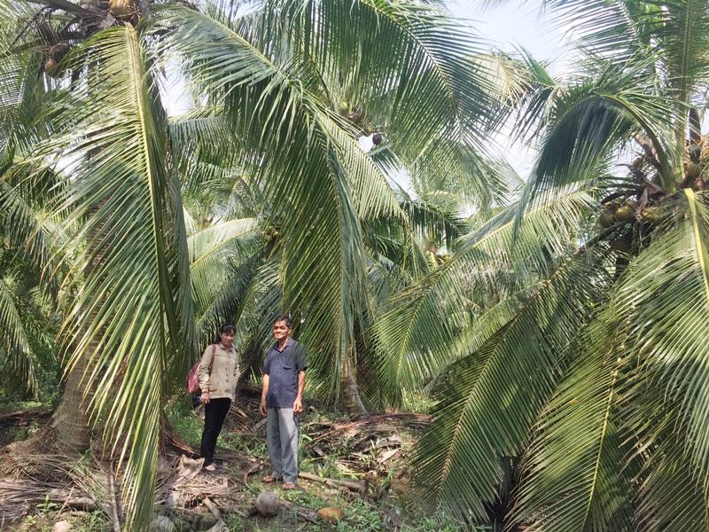 Vườn dừa của ông Mão đang phát triển tốt nhờ ủ phân hữu cơ.