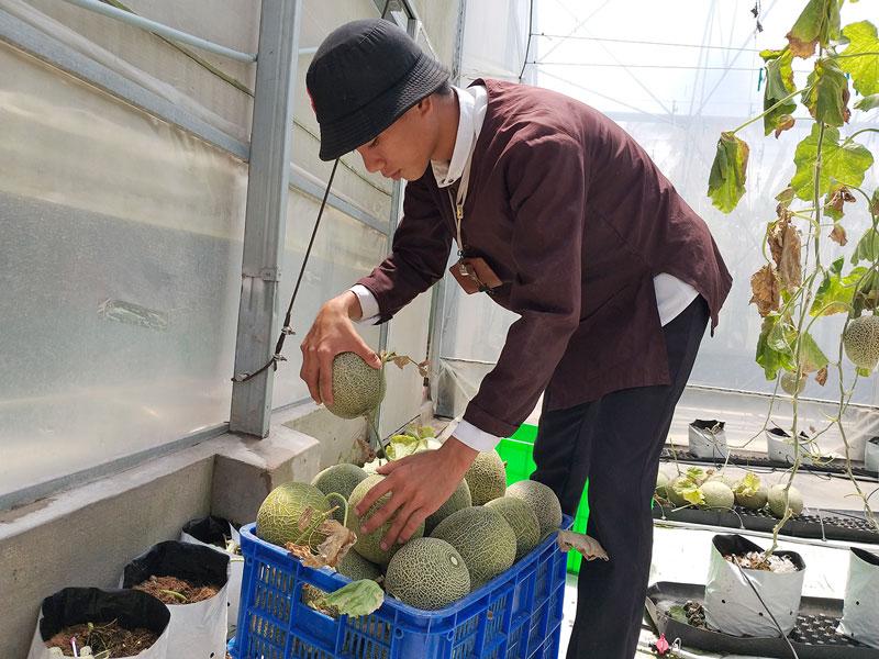 Khách thu hoạch tại vườn dưa lưới công nghệ cao Phú An Khang. Ảnh: T. Đồng