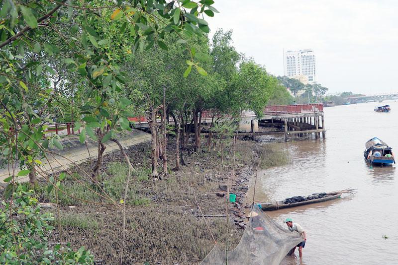 Hàng bần ven sông Bến Tre, đường Hùng Vương, Phường 5, TP. Bến Tre.