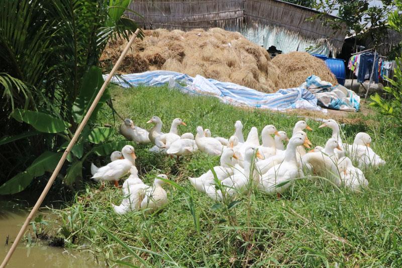 Đàn gia cầm của nông hộ được hỗ trợ hóa chất tiêu độc, khử trùng.