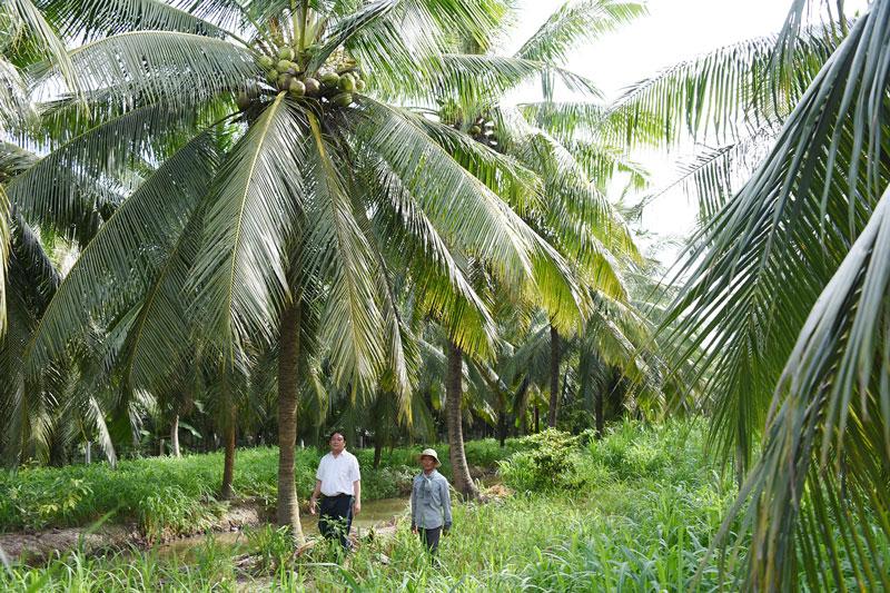Vườn dừa hữu cơ của ông Phạm Văn Bảy ở xã Phú Vang, huyện Bình Đại.  Ảnh: Thanh Đồng