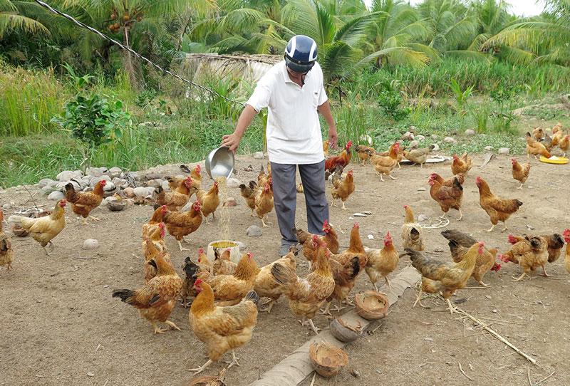 Chăn nuôi gà ở xã Tân Trung, huyện Mỏ Cày Nam.