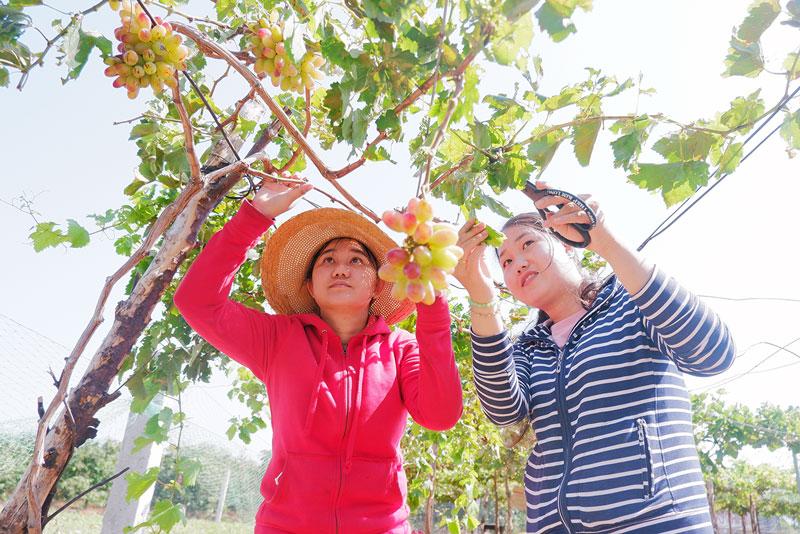 Hai chị em Diễm và Thúy đang chăm sóc vườn nho chuẩn bị cho đợt trái.