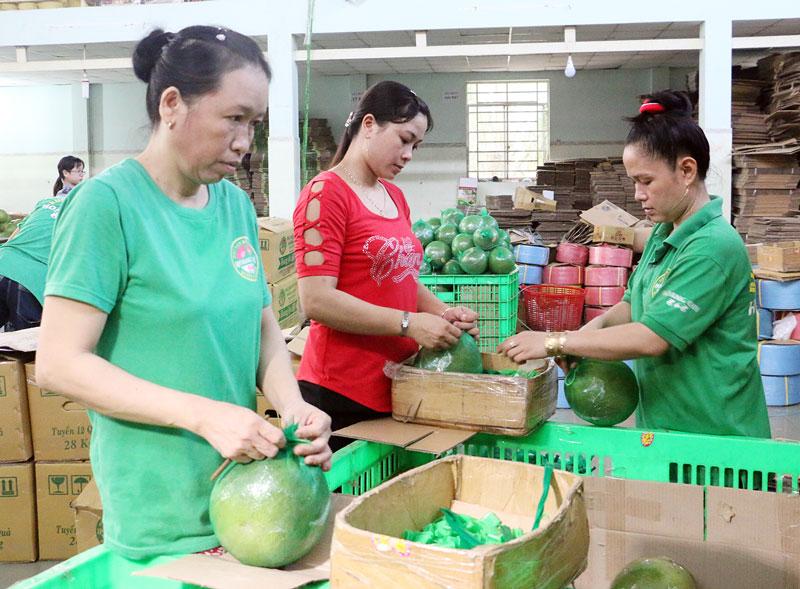 Bưởi da xanh là một trong những nông sản có thị trường đầu ra ổn định. Ảnh: Thu Huyền