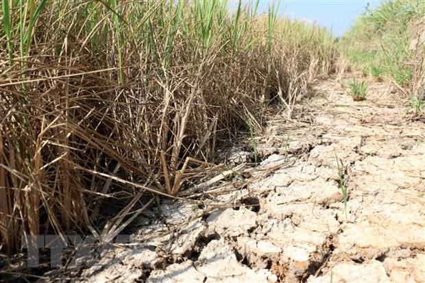 Nhiều diện tích lúa ở Bến Tre bị thiệt hại do hạn mặn. Ảnh: Trần Thị Thu Hiền/TTXVN