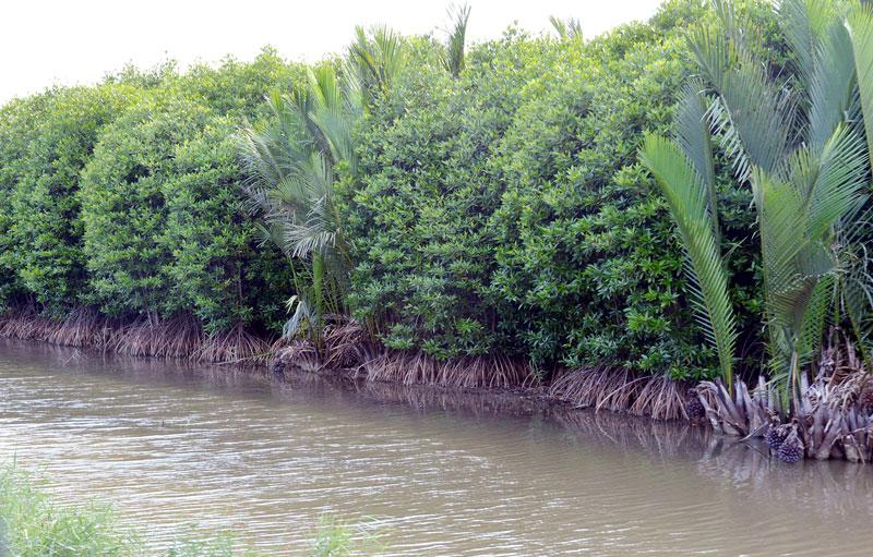 Mô hình trồng rừng ngập mặn xen trên các ao nuôi thủy sản ở vùng ven biển đã được mở rộng.