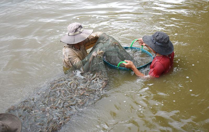Thu hoạch tôm biển ở Thạnh Phú. Ảnh: Cẩm Trúc
