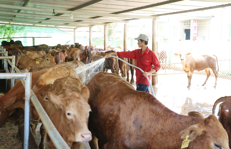 Chăn nuôi bò là mô hình giúp nhiều hộ nghèo thoát nghèo bền vững. Ảnh: Thu Hiền