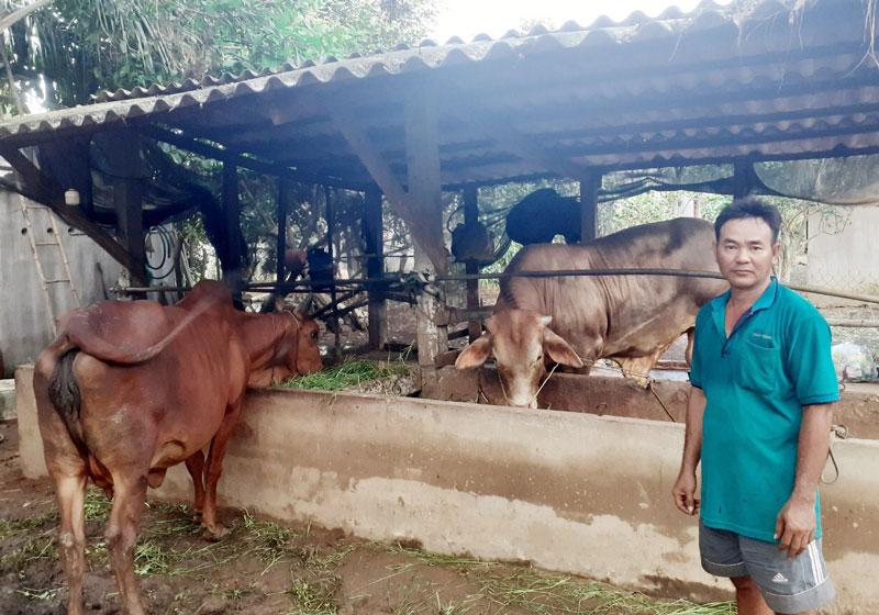 Chồng chị Phượng chăm sóc đàn bò của gia đình.