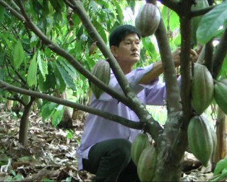 Cây cacao phát triển tốt trên vùng đất nhiễm mặn