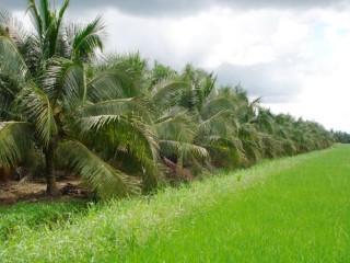 Làm gì sau khi có Nghị quyết Hội đồng Nhân dân tỉnh về gói hỗ trợ phân bón cho người trồng dừa?