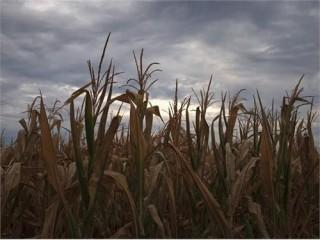 Hạn hán ở Mỹ tác động mạnh đến giá nông sản toàn cầu