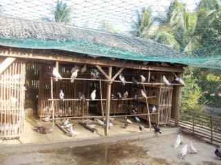 Kinh nghiệm nuôi bồ câu của anh Lê Thanh Nghị