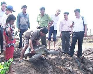 Thả con đồi mồi nặng 60kg về môi trường thiên nhiên
