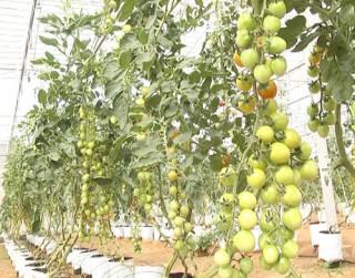 Hiệu quả từ trồng cà chua Picota công nghệ cao