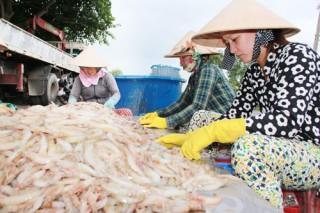 Nâng cao giá trị nguyên liệu cho tôm biển