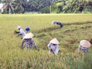 Mô hình canh tác giống lúa chịu mặn ở các huyện ven biển