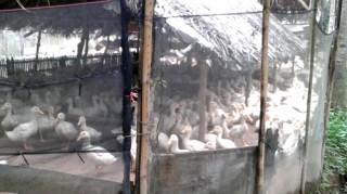 Tranh chấp đường thoát nước ô nhiễm do chăn nuôi