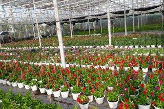 Khu ứng dụng Công nghệ sinh học Cái Mơn: Đẩy mạnh sản xuất cây giống, hoa kiểng chất lượng cao